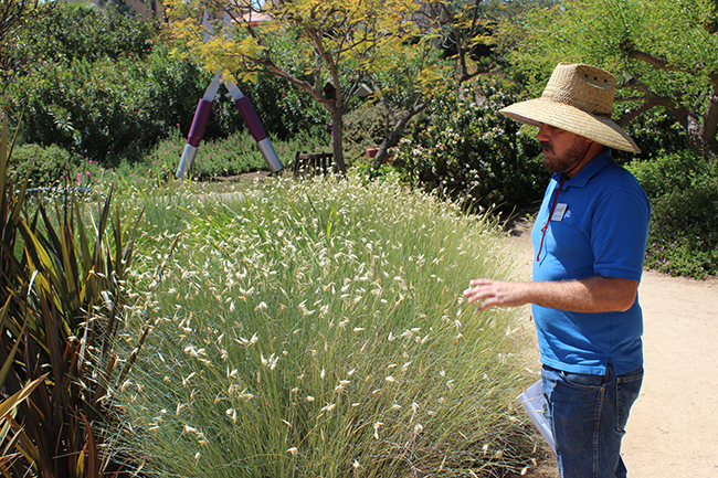 Horticulture director Clayton Tschudy points out the false esparto grass, which has a low need for water, at the Water Conservation Garden. (Photo by Jeremy Ogul)