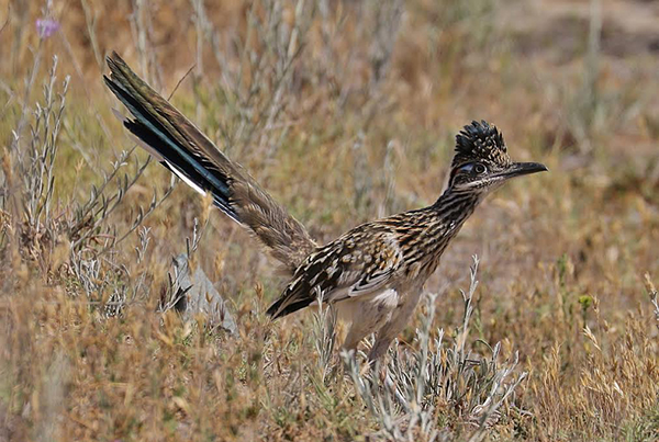 A greater roadrunner at Mission Trails (Photos by David Cooksy)