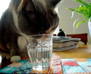 Some cats are downright finicky, including this one that prefers to drink water out of a glass. (Courtesy of Sari Reis)