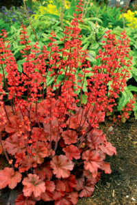 Cherry Cola Heuchera (Courtesy of Armstrong Garden Centers)