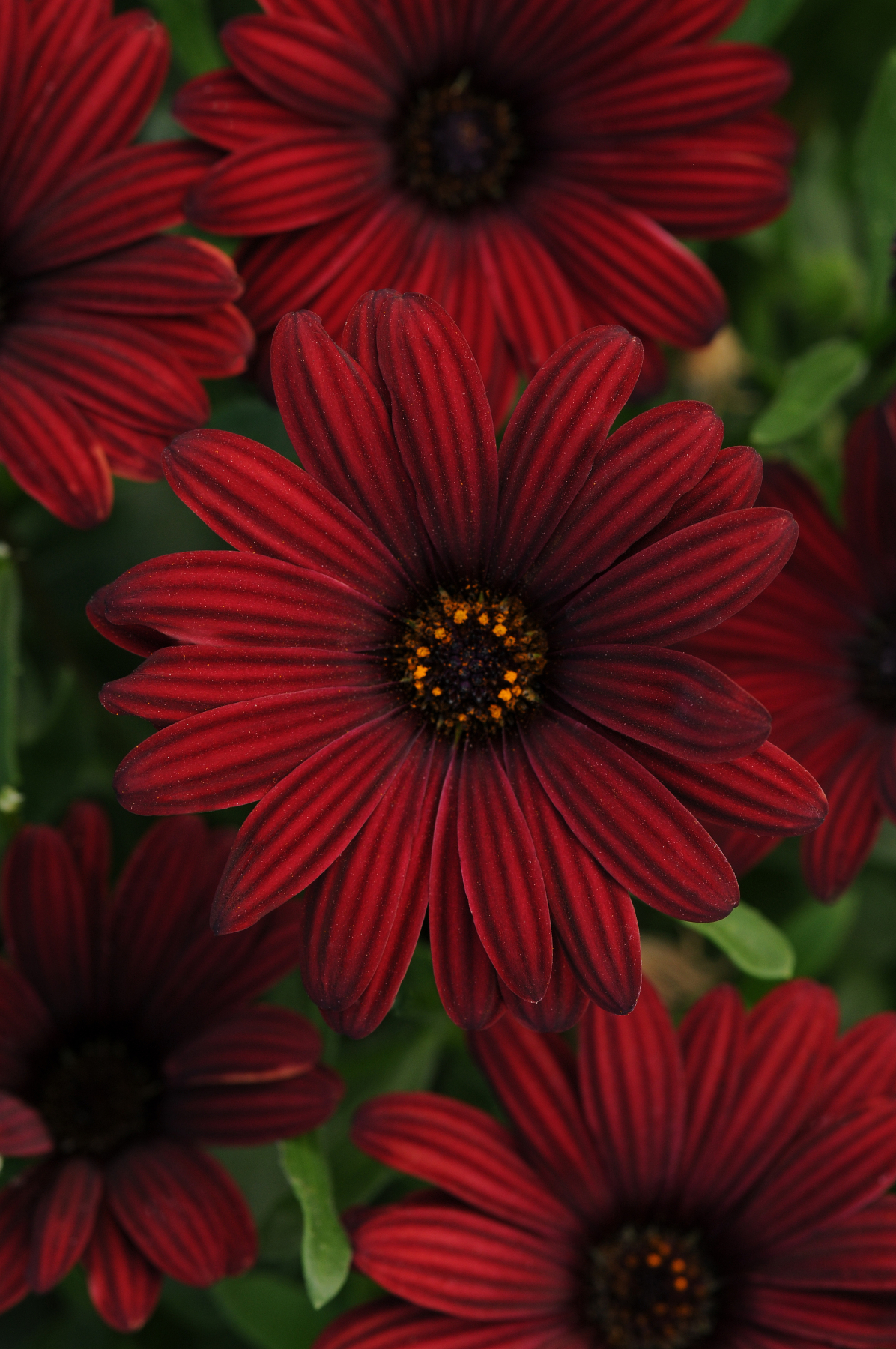 Burgundy Is The Hot Color For Fall Gardens La Mesa Courier